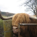 Hamish the Hairy Cow
